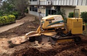 1.8 Metre Hoop Pine Stump & Roots